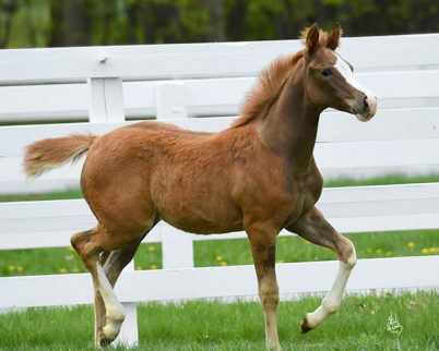2018 Chestnut Filly