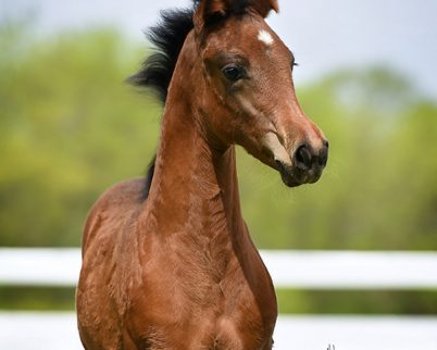 2018 Bay Filly