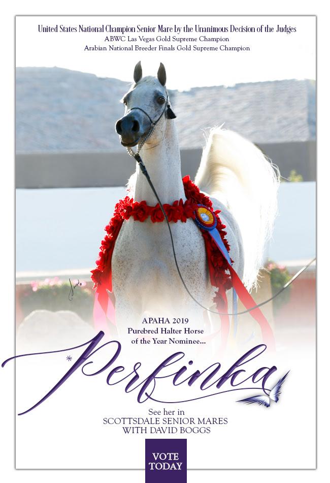 Perfinka 🌹APAHA Halter Horse of the Year Nominee!